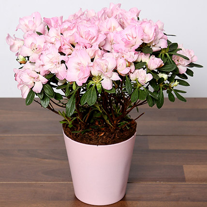Beautiful Pink Azalea Plant: Shrubs