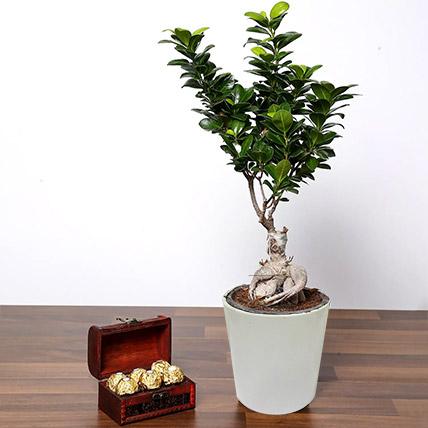 Ficus Bonsai Plant In Ceramic Pot and Chocolates: Aloe Vera Plants