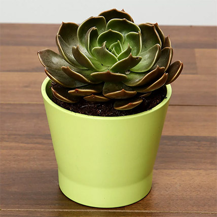 Green Echeveria Plant In Green Ceramic Pot: Plants