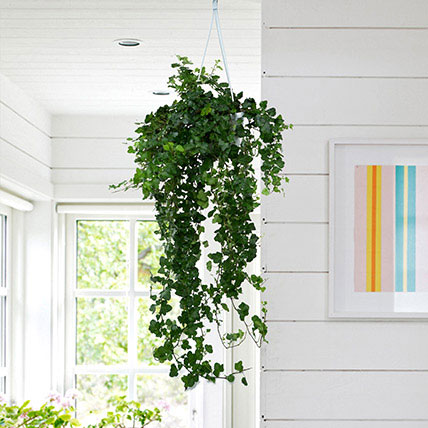 Hanging Hedera Hel Plant: Dish Gardens