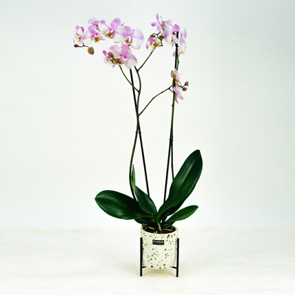 Pink Phalaenopsis Orchid Plant: Home Decor Items
