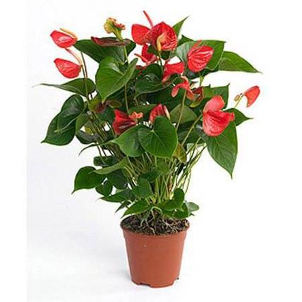 Red Anthurium Plant: Anthuriums
