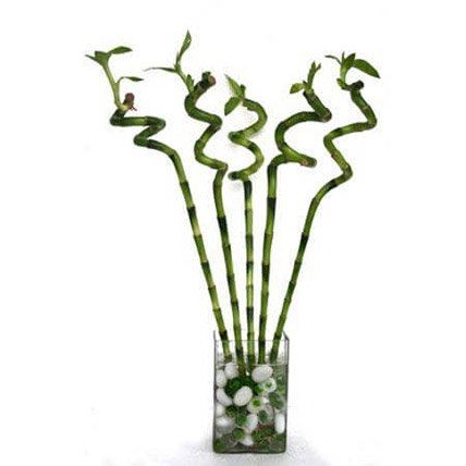 Spiral Bamboo: Lucky Bamboo Plants