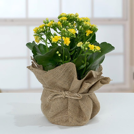 Jute Wrapped Yellow Kalanchoe Plant: Diwali Gifts 2020