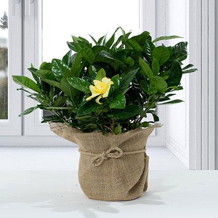 Gardenia Jasminoides with Jute Wrapped Pot: Indoor Plants