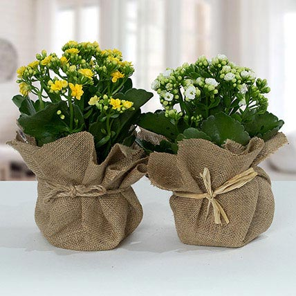 Jute Wrapped Dual Potted Plants: Cactus and Succulents Plants