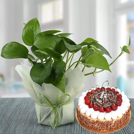 Money Plant and Blackforest Cake Combo: Fathers Day Cakes