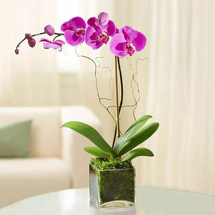 Purple Orchid Plant In Glass Vase: Women's Day Gifts