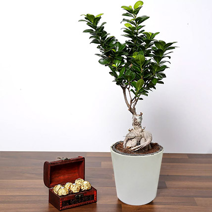 Ficus Bonsai Plant In Ceramic Pot and Chocolates: Bonsai Plants