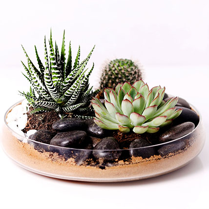 Combo of 3 Plants In Clear Glass Platter: Cactus and Succulents Plants
