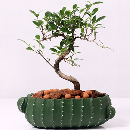 Dwarf Bonsai in Cactus Design Pot: Plants for Birthday Gift