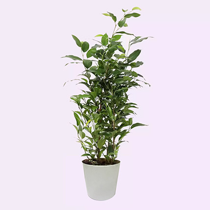 Ficus Plant In Pineapple Design Pot: Air Purifying Plants