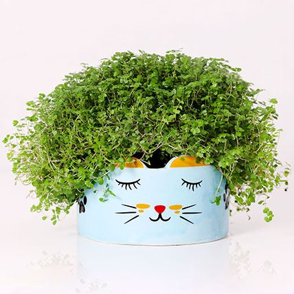 Soleirolia Plant in Sleeping Cat Pot: Plants for Anniversary