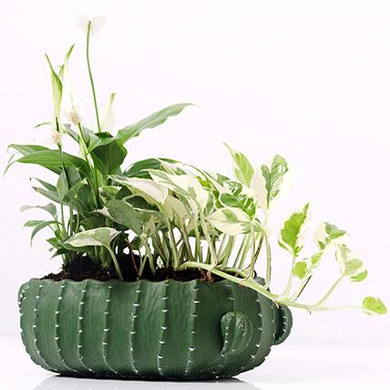 Spathiphyllum and Scindapsus In Designer Pot: Dish Gardens