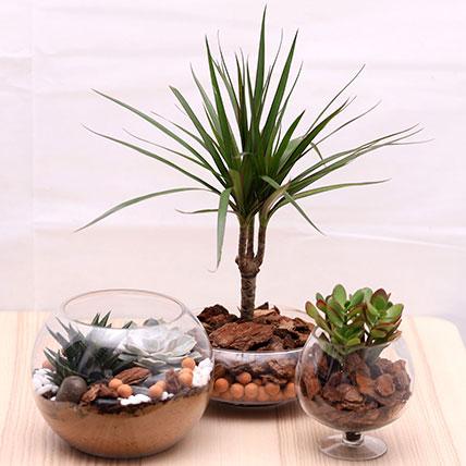 Triplet Plant Beauty: Dish Gardens
