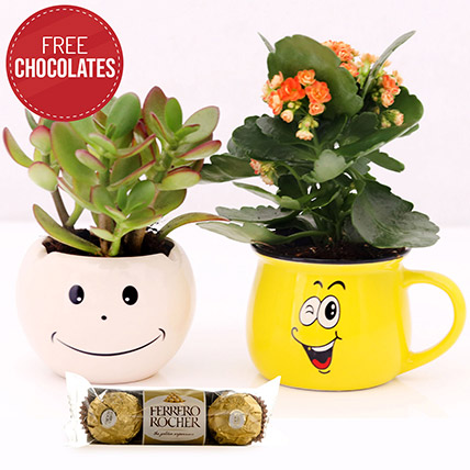 Crassula and Kalanchoe with Free Ferrero Rocher: Gifts on Sale