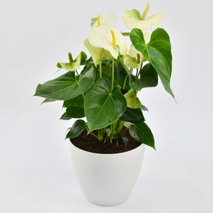 White Anthurium Plant In Ceramic Pot: Flowering Plants