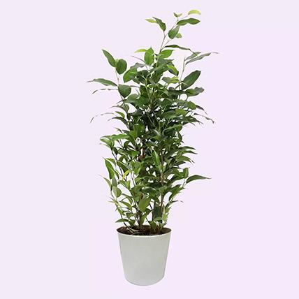 Ficus Plant In Ceramic Pot: Office Plants