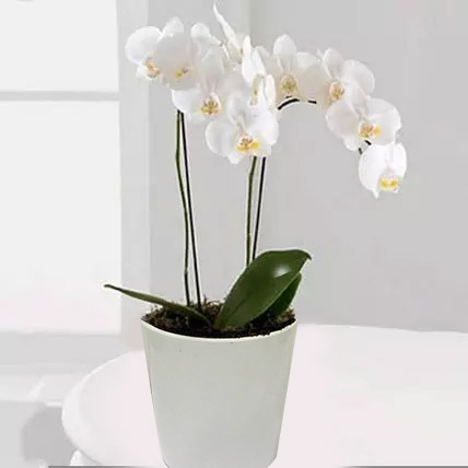 White Phalaenopsis Orchid Plant: Orchid Flowers in Dubai