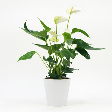 White Anthurium Plant In Ceramic Pot: Air Purifying Plants