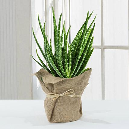 Aloe Vera Plant in Jute Wrapping: Indoor Plants
