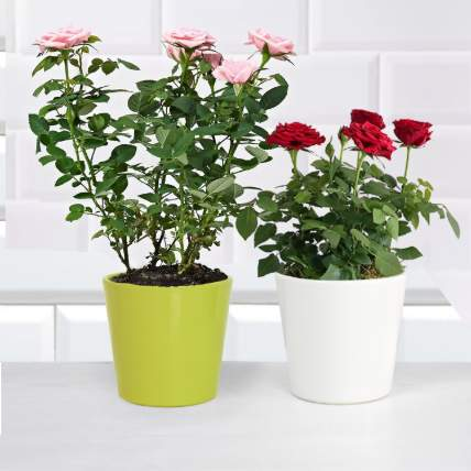 Pink and Red Rose Plant: Plants In Dubai