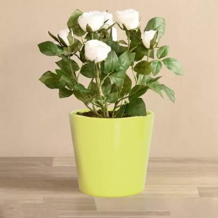 White Rose Plant: Shrubs