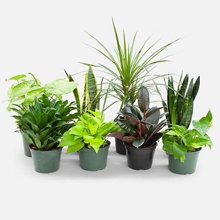 Set Of 8 Beautiful Plants: Money Plants