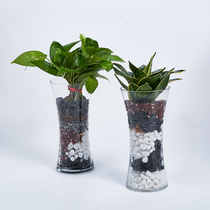 Sanseveria and Money Plant in Tall Vase: