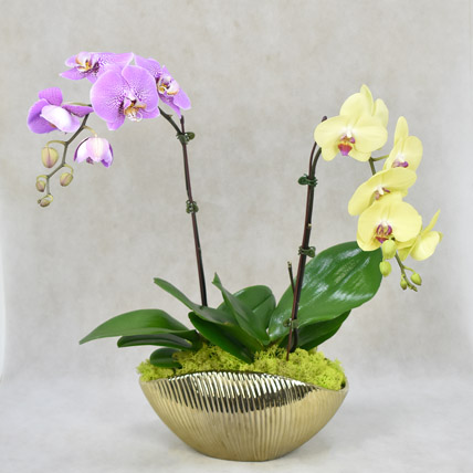 Dual Orchid Beauty: