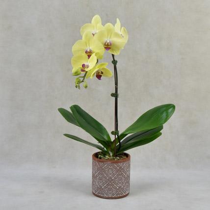 Yellow Orchid in Premium Vase: Plants In Dubai