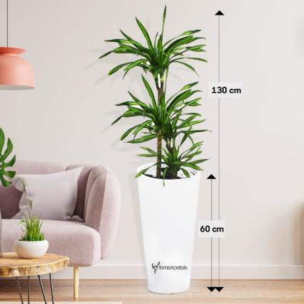 Dracaena Rikki in 60cm High Planter:
