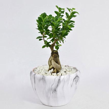 Bonsai Plant In Ceramic Pot: Outdoor Plants in Dubai