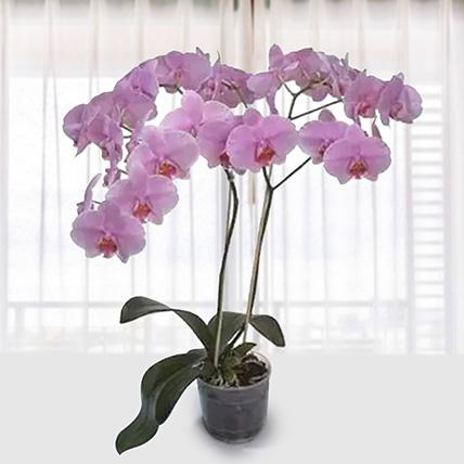 Pink Phalaenopsis Orchid Plant: Indoor Plants To Qatar