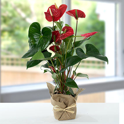 Red Anthurium Jute Wrapped Potted Plant: Plants Delivery in Qatar