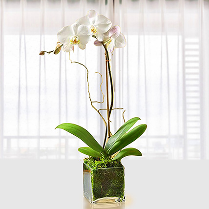 White Orchid Plant In Glass Vase: Outdoor Plants To Qatar
