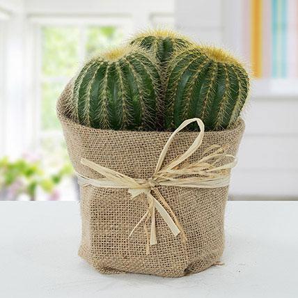 Echinocactus Grusonii Jute Wrapped Pot: Outdoor Plants To Qatar