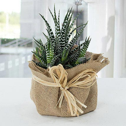 Jute Wrapped Howarthia Plant: Plants