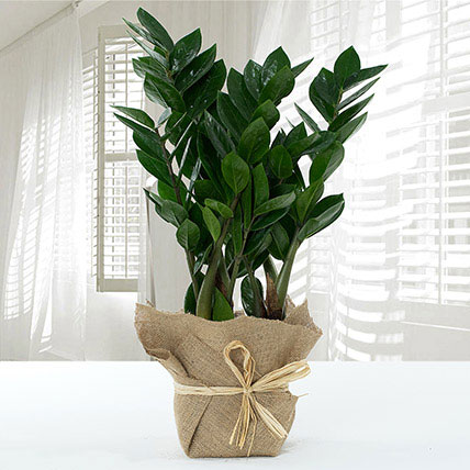 Jute Wrapped Zamia Potted Plant: Outdoor Plants To Qatar