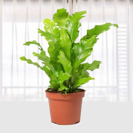 Asplenium Nidus Campio: Plants Delivery in Qatar