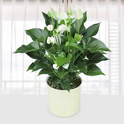 White Anthurium Plant: Send Indoor Plants To Qatar
