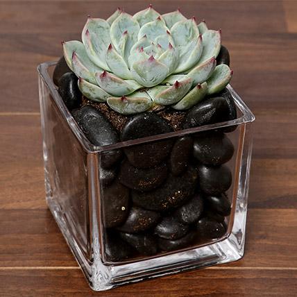 Green Echeveria Plant In Square Vase: Send Gifts to Saudi Arabia