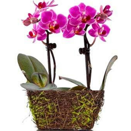 Wood Twig Mini Duo Orchid: